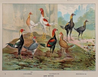 """Antique print.1902.Poultry.111 years old print.Antique book plate.Old poultry print.Vintage print.10,5x8,2 """" or 27x21cm.Vintage poster."""