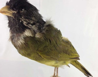 real bird taxidermy ,unknow name,stuff bird,specimen, free shipping to every where