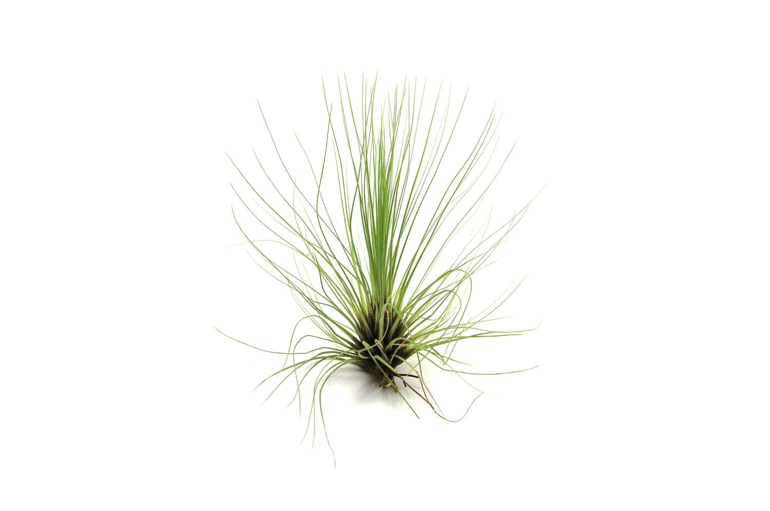 5 Pack Air Plant Filifolia Air Plant Set Of 5 Fast
