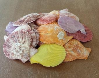 Small Shells, Craft Shells, Beach Decor, Seashells, Shells, Home Decor, Pecten Nobilis Scallop Shell