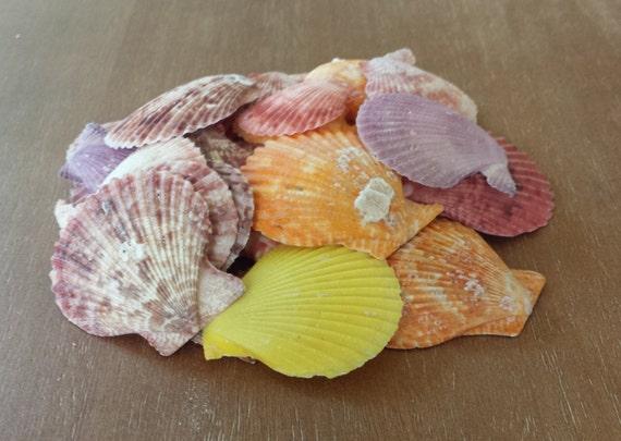 Scallop shells craft shells beach decor by nataliehagandesigns - Scallop shells for crafts ...