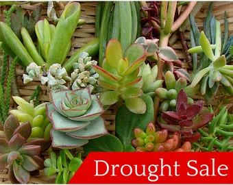 FREE SHIP - 50 Succulent Cuttings - Rosettes Included Perfect for Wreaths, Terrariums, or Container Gardens - Drought Tolerant, Cactus, Aloe