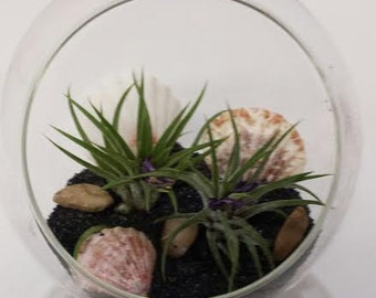 Air Plant Glass Pedestal Terrarium DIY Complete Kit with Two Air Plants, Sand, Shells and Stones.