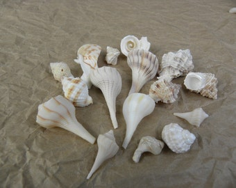 Various Florida Gulf Coast Seashells from the Gulf of Mexico
