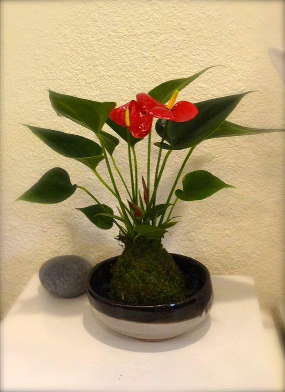kokedama boule de mousse de bonsai anthrium couleur rouge. Black Bedroom Furniture Sets. Home Design Ideas