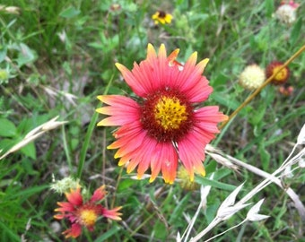 Cistern Texas Red Wild Flowers May 2015 by Lisa Ray