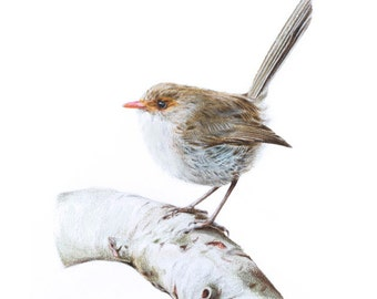 Original Wildlife Nature Art - Female Superb Fairywren