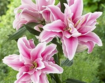 5 Bulbs Double Oriental Roselily Belonica.