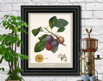 Red Apricot Illustration Botanical Print Vintage Plant illustration Kitchen Art Pierre Poiteau wall art.  0395