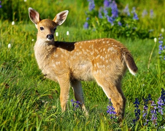 Black-tailed Deer Fawn (Great for Baby's Room)