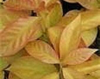 Pereskia Lemon Vine, Lemon Leaf Rose Cactus