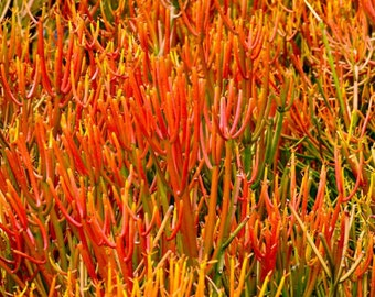 Euphorbia Tirucalli Pencil Cactus 'Firesticks Rooted Live Plant