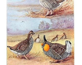 Bird Print - Prairie Chickens - 1932 Book Page from Vintage Bird Book -10 x 7