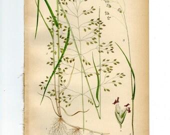 Vintage Botanical Book Plate Natural History Print Antique Botanical Illustration Poa Palustris (Fowl Bluegrass) from 1906 Nordens Flora