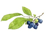 Blueberries Botanical Watercolor Print