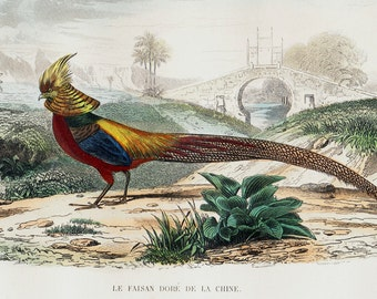 1848 Antique PHEASANT print. Chinese golden pheasant, Fine hand colored. Original antique ornithology engraving.