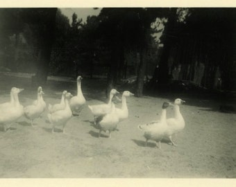 "Vintage Photo ""Marching Feathers"" Bird Snapshot Photo Old Antique Photo Black & White Photograph Found Photo Paper Ephemera Vernacular - 112"