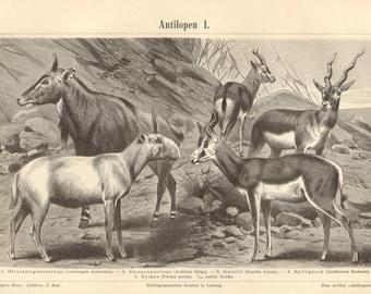 1893 Antelopes, Blackbuck, Saiga Antelope, Dorcas Gazelle, Springbok, Nilgai, Kudu, Addax, Eland, Hartebeest, Wildebeest Antique Engraving