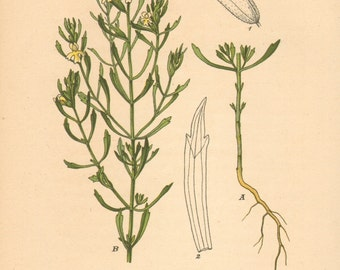1884 Euphrasia tricuspidata Antique Lithograph