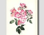 Cottage Chic, Honeysuckle Pink Rose Print, 1960s Vintage Flower Art No. 7