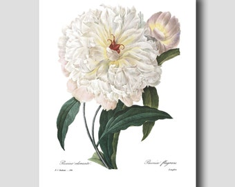 Cottage Chic Decor (White Peony Wall Art, Botanical Print Gift for Her) --- Pierre Redoute Peony Flower Print No. 104