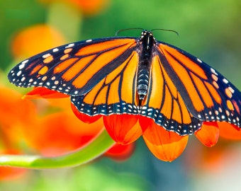 Nature Photography -  Butterfly Art Print - Fine Art Photograph - Orange Green - Monarch Butterfly Wall Art - Nature Home Decor