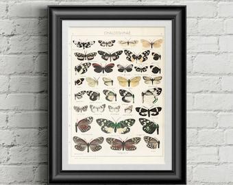 Butterfly art print. Botanical print. Botanical art. Botanical illustration. Antique botanical print. Butterfly illustration. Vintage poster