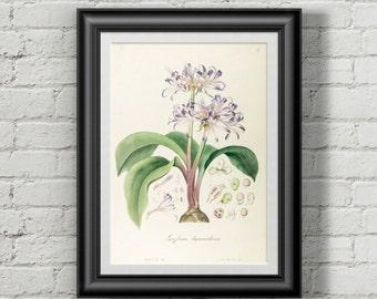 Griffinia botanical poster. Flower print. Flowers prints wall art Botanical print. Wall art prints. Wall art print. Vintage botanical prints