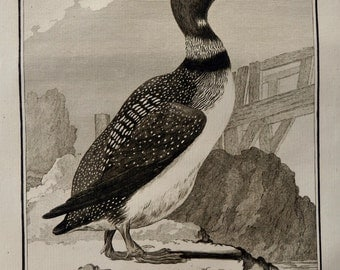 1782.Antique print.Natural History of Buffon.Steel engraving.GREAT NORTHERN DIVER,Imbrim.230 years old print.Birds.6.8x9.8 inches, 25x17 cm.