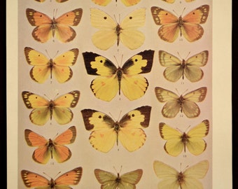 Butterfly Print Butterflies Plate 1800s Antique Original
