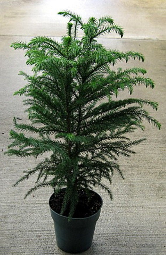 norfolk island pine the indoor christmas tree 6 by. Black Bedroom Furniture Sets. Home Design Ideas