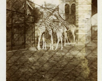 "Vintage Photo ""Long Neck Huddle"" Snapshot Photo Antique Photo Black & White Photograph Found Photo Paper Ephemera Vernacular Giraffe - 71"