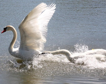 Swan, Nature Photography, Wildlife Photography,  Animal photography, wall art, home decor, mute swans. family,