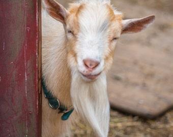 Farm Day Silly Goat Photo Print 8x10, 11x14, 16x20 or canvas