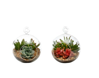 Succulent Terrarium Duo: Echeveria, Gollum Jade, and Red Graptosedum