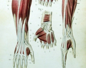 1846 ANATOMY ARM HAND Muscles - hand coloured sepia anatomical engraving. Original Antique. Vintage. Over 160 years old.