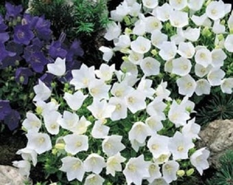 Campanula Seeds Canterbury Bells White FLOWER SEEDS 250 Seeds
