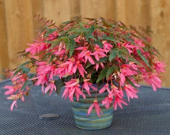 15 Pelleted Begonia Seeds Begonia Bossa Nova Rose Trailing Begonia