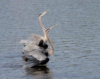 Great blue heron, heron, bird, Birds, photo, prints, nature photo, photography, home decor, wall art, art