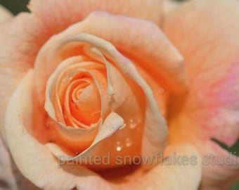 Coral Orange Tea Rose Photograph