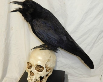 taxidermy crow, carrion crow , raven family bird only no base
