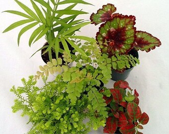 "collection-Terrarium & Fairy Garden Plants - 5 Plants in 2"" pots (FREE SHIPPING)"