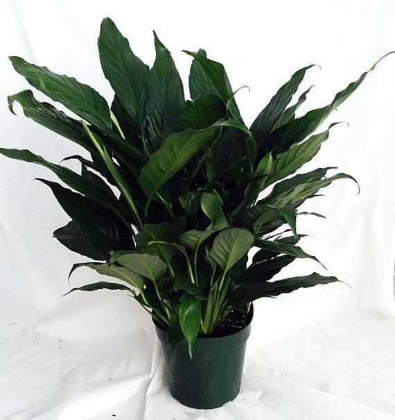 peace lily plant spathyphyllium great house plant. Black Bedroom Furniture Sets. Home Design Ideas