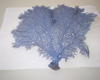 Sea Fan dyed Periwinkle color  (Ea).