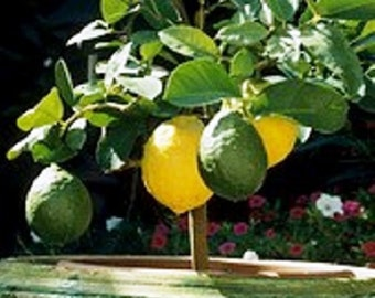 Meyer Lemon Tree (Grafted) /Bonsai Tree/Fruit Tree/Citrus Tree/Flowering Tree/Live Tree/Live Bonsai