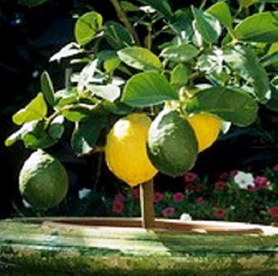 grafting fruit trees is a lemon a fruit