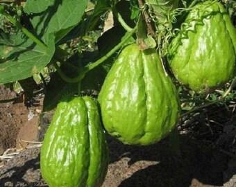 Rare edibles *CHAYOTE*Sechium edule*christophene*1 whole fruit for germination*
