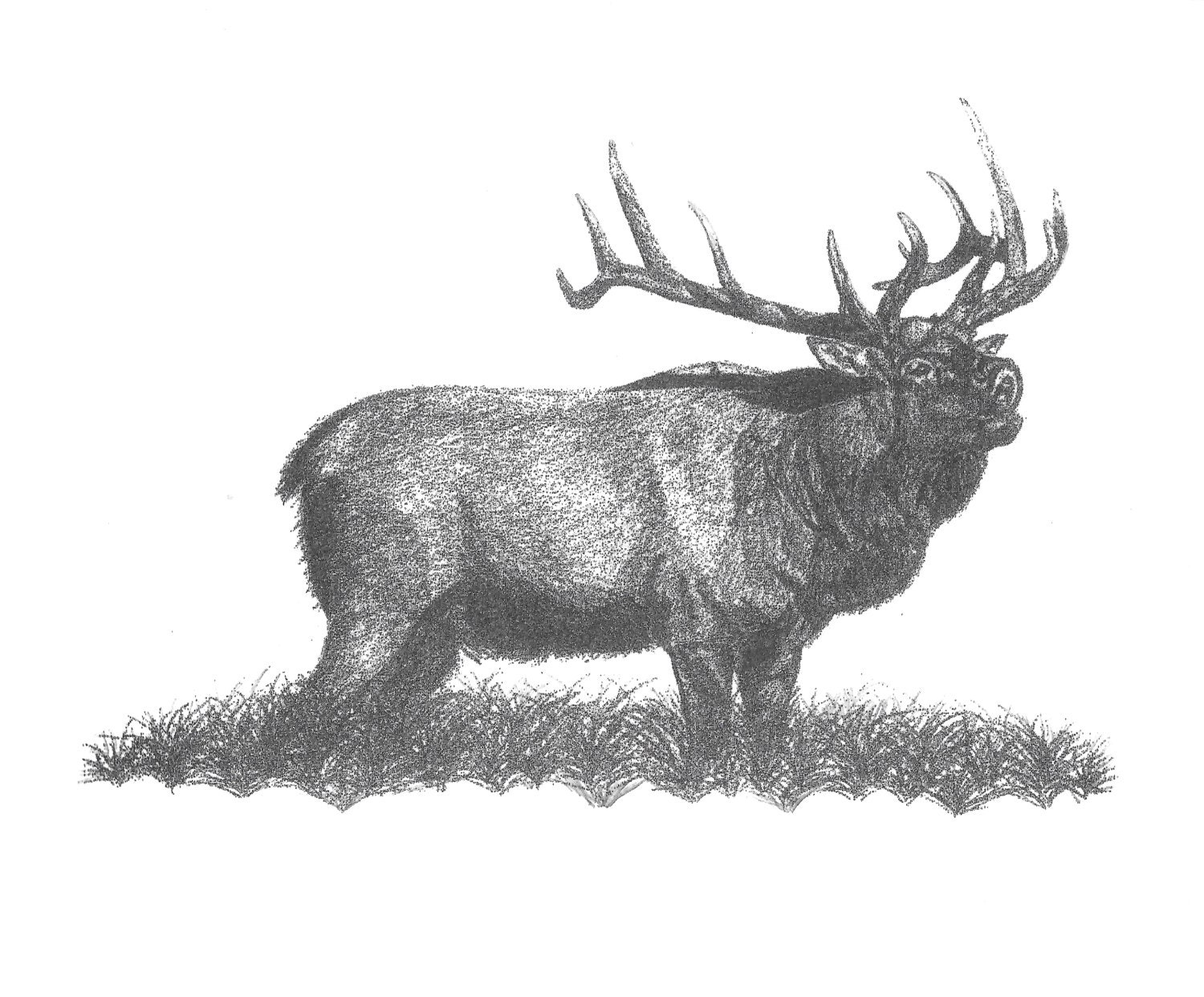 Pencil Drawing Rocky Mountain Elk Bull Elk Bugling Elk