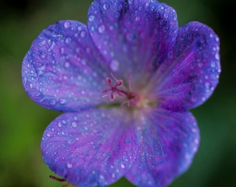 Beautiful shades of purple in this archival pigment print, flowers, macro photography