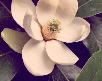 Original Fine Art Digital Photograph Giclee Print:  Magnolia Bloom